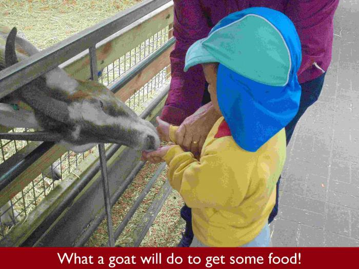 19 What a goat will do to get some food